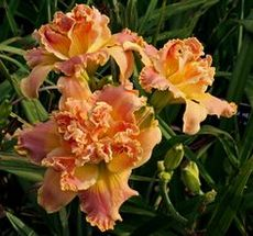 HM7013 Hemerocallis hybrid Early Early Truffle 원추리 얼리얼리트러플 뿌리 1개