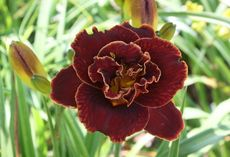 HM7020 Hemerocallis hybrid Night Embers 원추리 나잇엠버 뿌리 1개