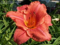 HM7025 Hemerocallis hybrid South Seas 원추리 사우쓰씨 뿌리 1개