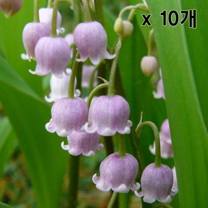 분홍 은방울꽃 로지아 숙근 10개