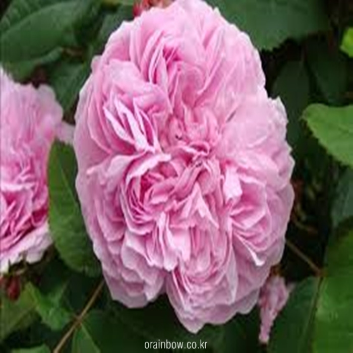 Rose18012  Jacques cartier 130